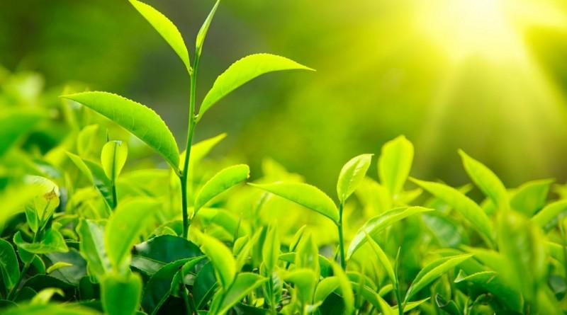 Grönt te och viktminskning